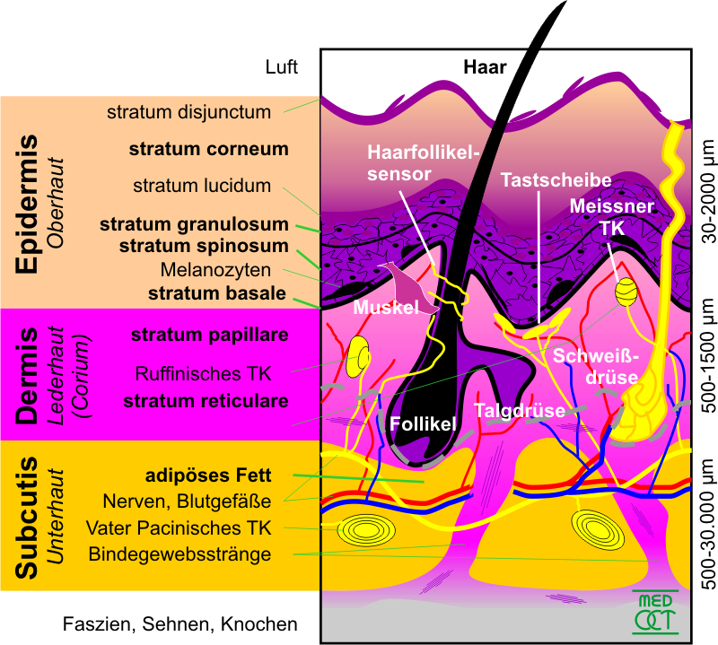 structura pielii